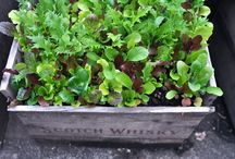 My Little Veg Garden (Allottment) / by Cathy Barrow