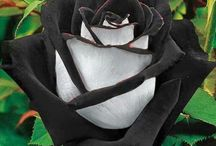 Kerry Black & Assorted Roses