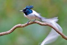 păsările paradisului