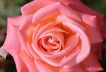rózsák - roses
