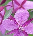 Alaska flowers & plants