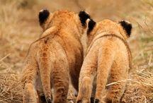 Lions / My love Lions