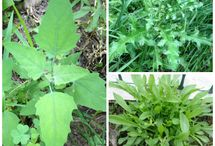 Edible weeds and Herbal Medicines