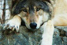 lobos / perros