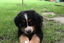 Liza / Liza, our bernise mountain dog