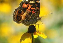 Motyle / O najpiękniejszych i najdelikatniejszych stworzeniach na Ziemi :)