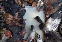 Bird Flu News