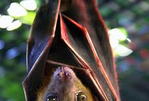 Bats. / Celebrating the awesome of Chiroptera. That means it's bats. So yeah. Bats.