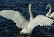 swans / the most beautiful birds