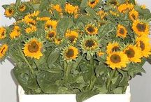 Sunflowers / Have you got an upcoming event or wedding using Sunflowers? This board is to help and inspire you on the types of Sunflowers and how you can include in your arrangements. For more info on Sunflowers, visit www.trianglenursery.co.uk/sunflower