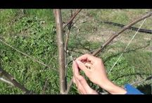 grafting fruit tree