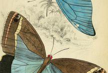 le papillon & butterfly & kelebek