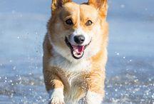 Corgi/poodle