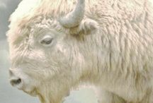 Pte San Win - White Buffalo / The miracle of the white buffalo and her nation.
