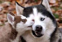Huskies and other cute animals