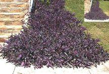Purple Queen (Setcreasea Trandescantia pallida)