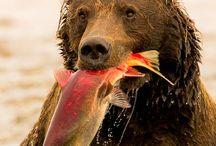 Brown bear please freeze