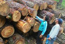 Pinus Bener Meriah