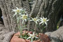 ⒺⒹⒺⓁⓌⒺⒾⓈⓈ / Alpin flower. One of the symbols of the alpes. / Das Alpen-Edelweiss. Die Alpenblume ist eines der schönsten Symbol der Alpen.