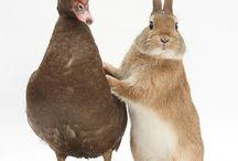 Ducks, Bunnies, Hens & Geese