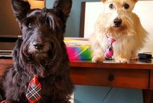 Scottie pics / My own and other Scotties. Who can resist a good Scottie pic ;-)