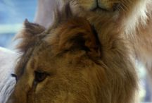 Lions and Lionesses / Here I will collect photos of those lions I love and meet again and again
