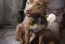 Pit Bulls / For the love of Pit Bulls <3 / by LMRCreations-Lynne
