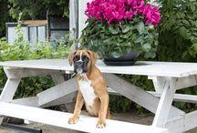 Bep the Boxer(pup) / by Linda Bruinenberg