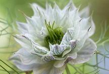 Nigella- Juffertje in het groen
