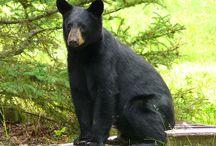 Reference: Black Bear