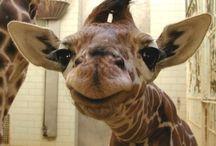 Giraffes<3 / by Jessica Durham