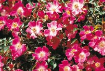 Les rosiers miniatures