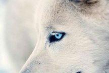 { loups/wolfs }