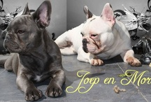 Our frenchies <3 / Morris and Joep, both french bulldogs but very different from each other