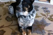 Cattle Dogs & Mixes