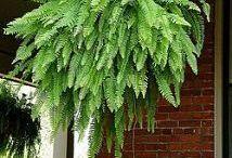 Gardening - ferns