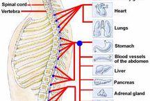 Human Anatomy and Systems / Anatomy / by Steve Chapman