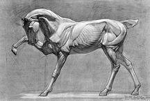 Anatomia zwierząt - Koń