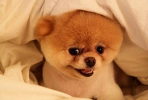 Pomeranian is the best breed ever