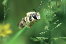 Foto-Wandkalender Wildbienen und Blühkalender / Wildbienenfotos Din A3 Kalender