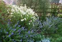 Caryopteris Combinations / Plant partnerships that include bluebeards and blue mist shrubs