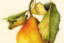 яблоко и груша в ботанической акварели