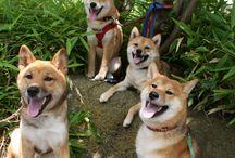 Shibki / Woof Woof woof woof woof woof woof woof woof woof!