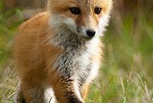 Vörös róka