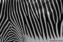 ZEBRAS & All things