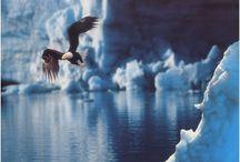 Bald Eagle / by Dawn Mellor