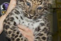 amur leopard cubs n more