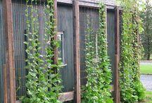 Grow Malabar Spinach