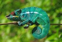 Chamäleons / Chameleons