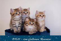Little ball of fur ... / katze, cat, toyger, ragdoll